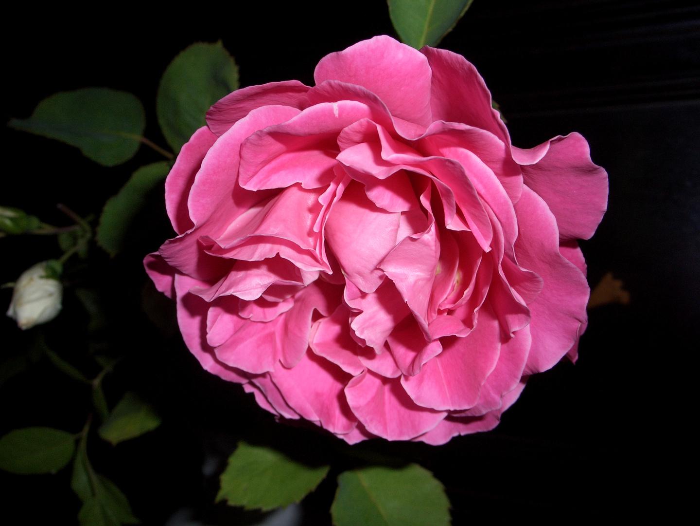 Wer kennt den Namen dieser Rose????