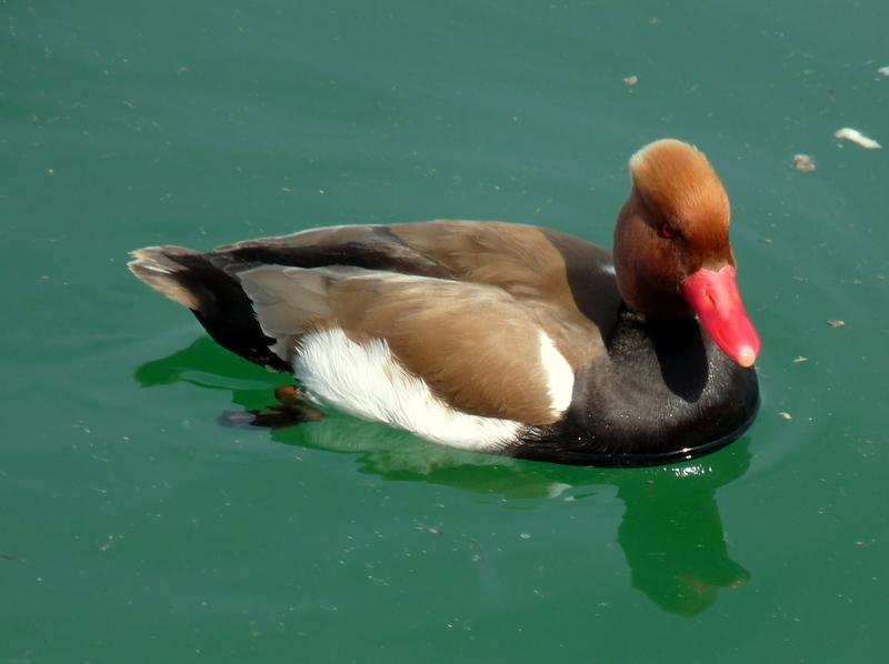 Wer kennt diese Ente?