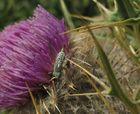 wer kennt diese Fliege mit Legeröhre? Bohrfliege, Terellia serratulae,best. Gerdt Ginko, danke!