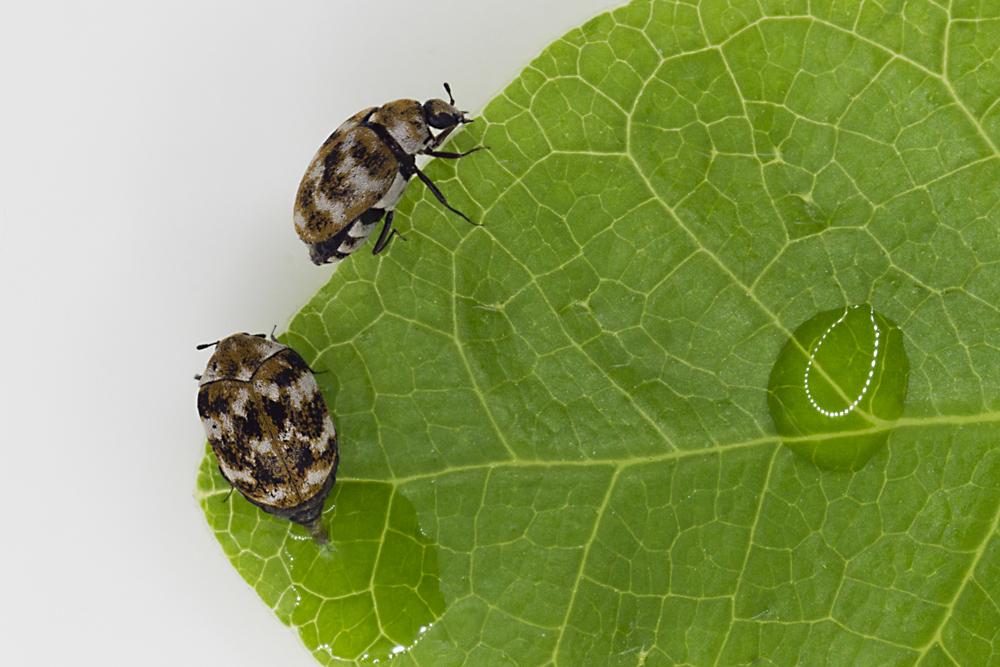 Wer kennt diese Käfer?