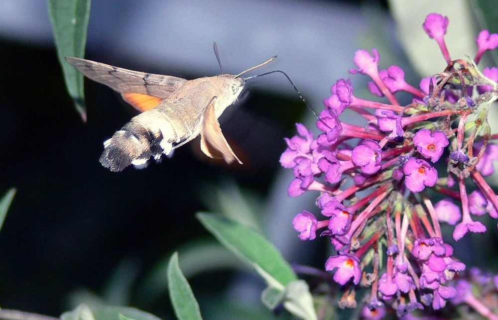 Wer kennt dieses Insekt?