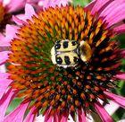 Wer kennt ihn - wenn es denn ein Käfer ist?