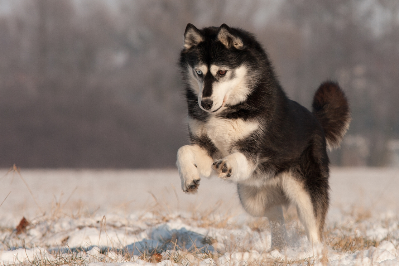 wer liebt schnee mehr als ein husky foto bild tiere haustiere hunde bilder auf. Black Bedroom Furniture Sets. Home Design Ideas