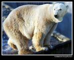 Wer sagt was gegen Eisbären?