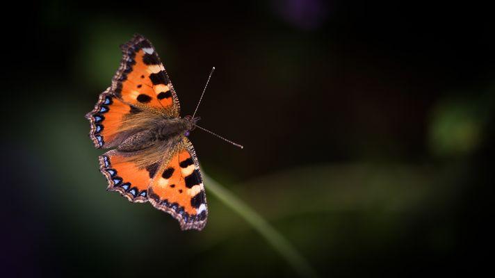 Wer Schmetterlinge lachen hört ....