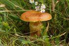 Wer weiss Name von diese Pilz