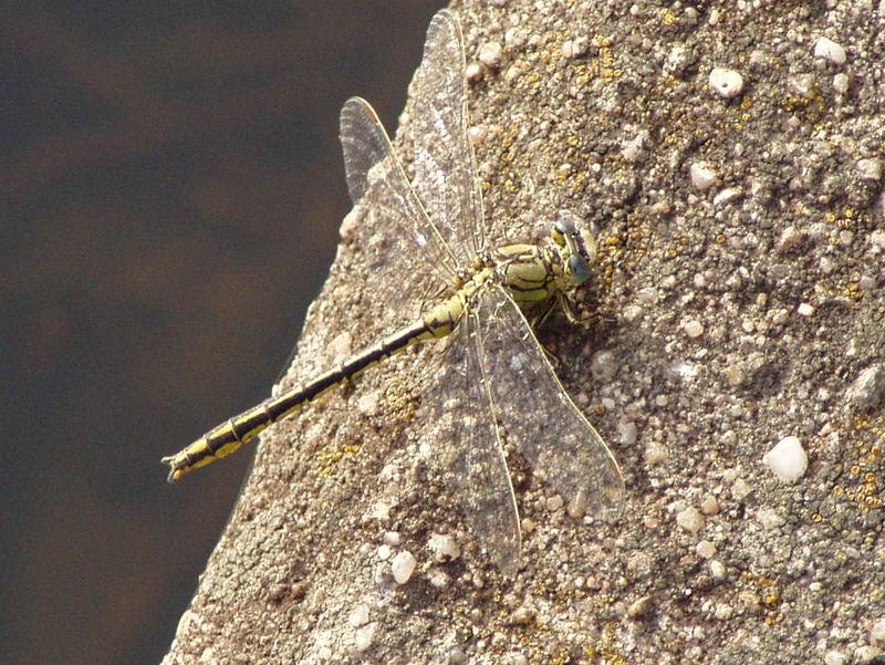 Wer weiß, wie diese Libelle heißt?