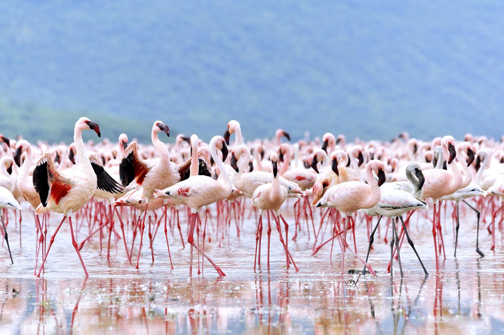 Werben der Flamingos © JF-Fotografie, Jürgen Feuerer