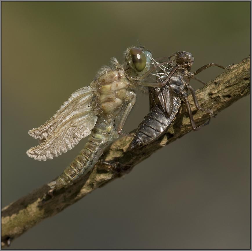 werdende nordische moosjungfer mit geknautschten fügeln (libellengeburt #2)