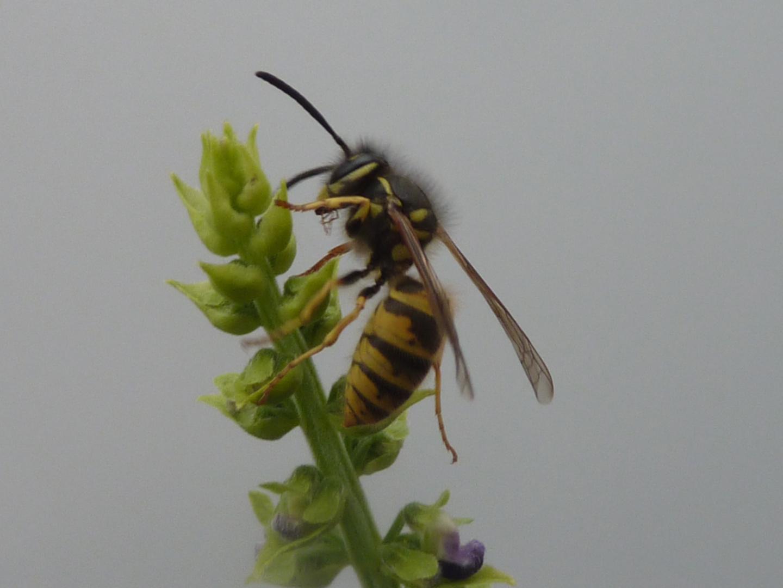 Wespe an einer Blüte
