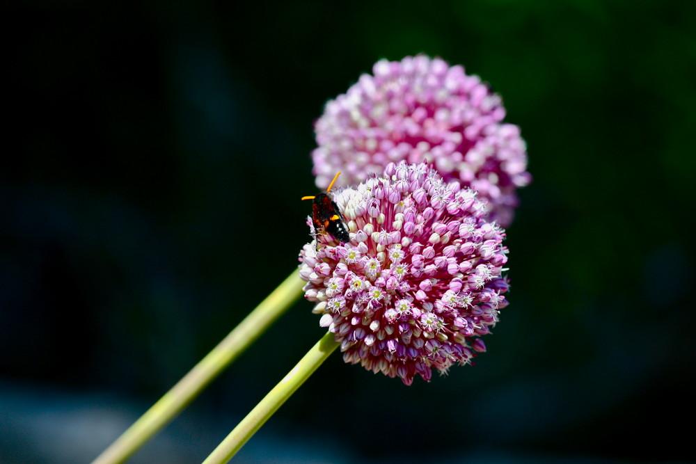 Wespe auf Allium