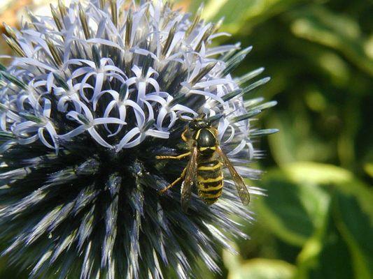 Wespe auf Distel
