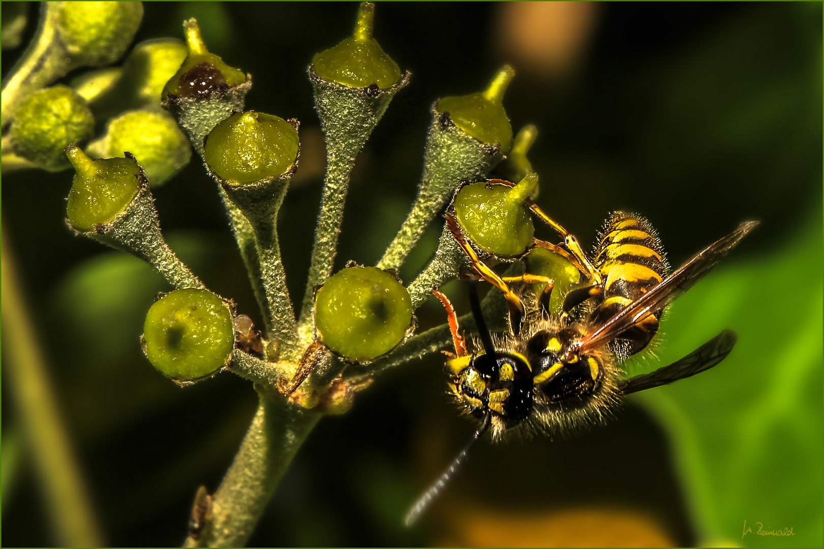 Wespe auf Efeu