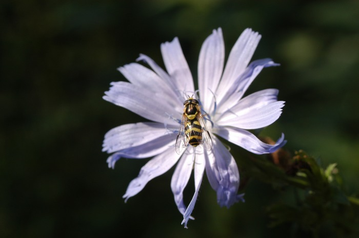 Wespe auf einer Wegwarte
