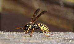 Wespe auf Holzweg