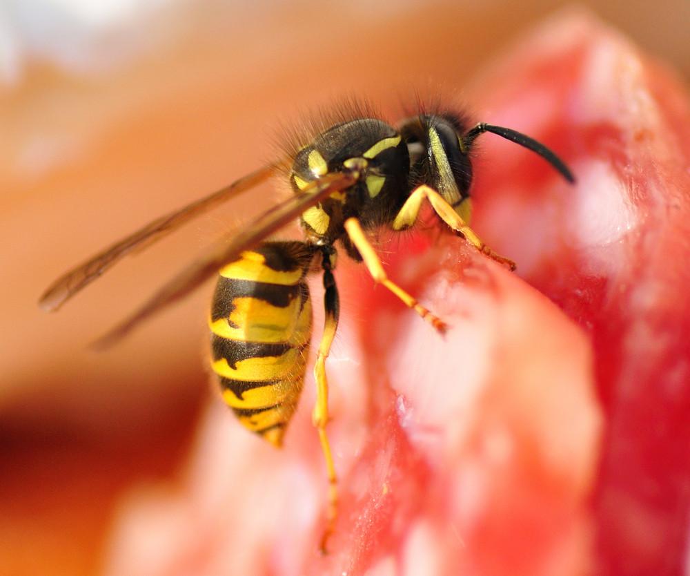 Wespe auf Salami