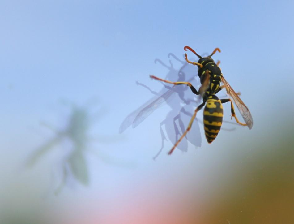 Wespe auf Scheibe
