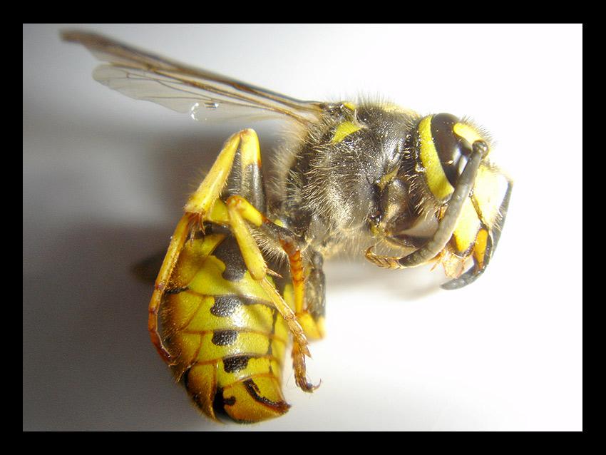 Wespe auf Taschentuch