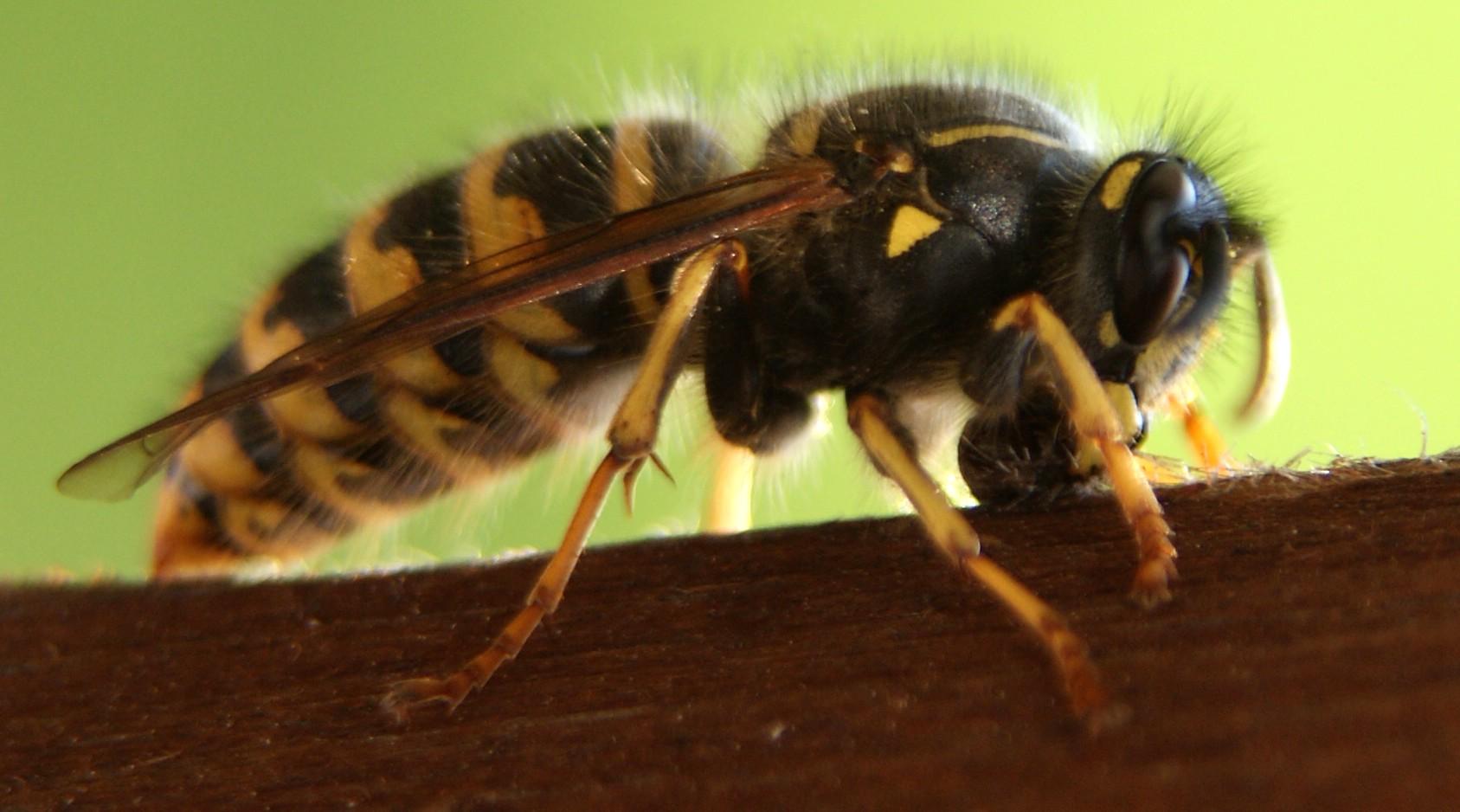 Wespe beim Holz sammeln