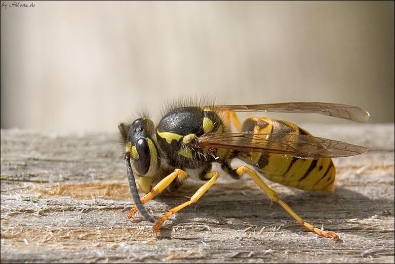 Wespe beim Holzklopfen