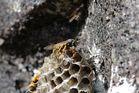 Wespe beim Nestbau