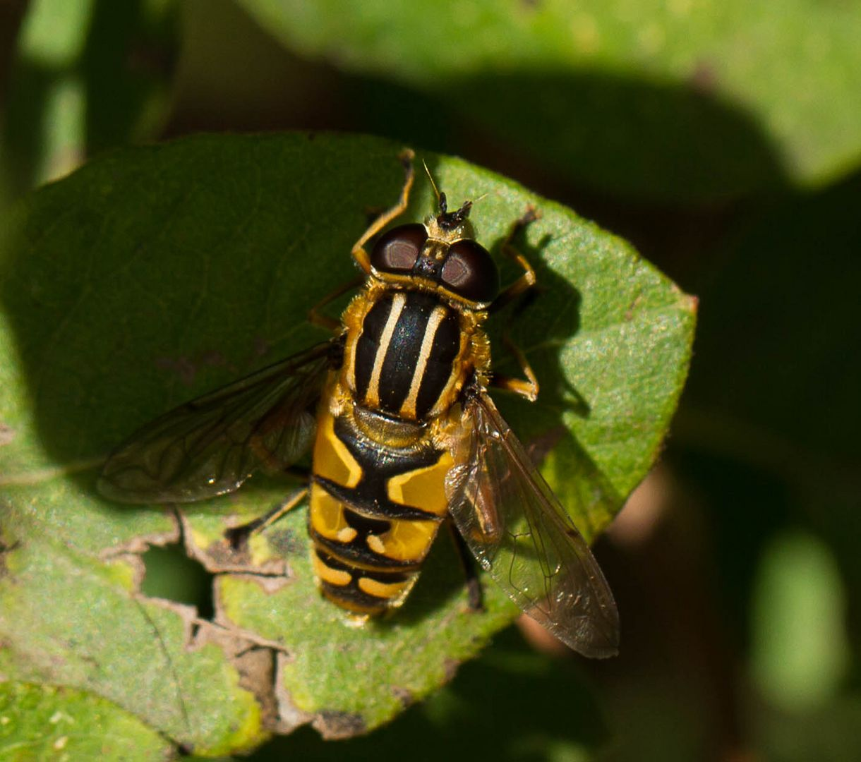 Wespe-Fliege-Biene?