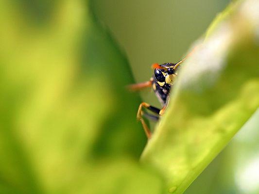 Wespe - Heimlicher Beobachter