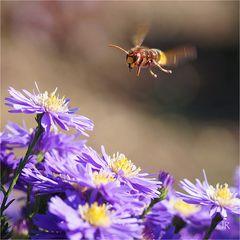 Wespe im Anflug