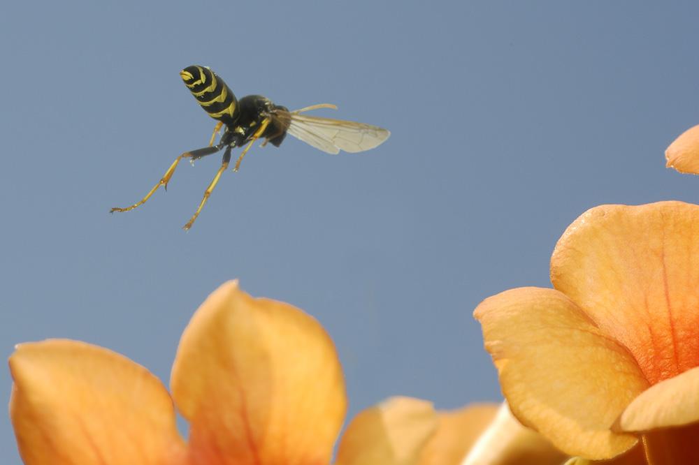 Wespe im Flug