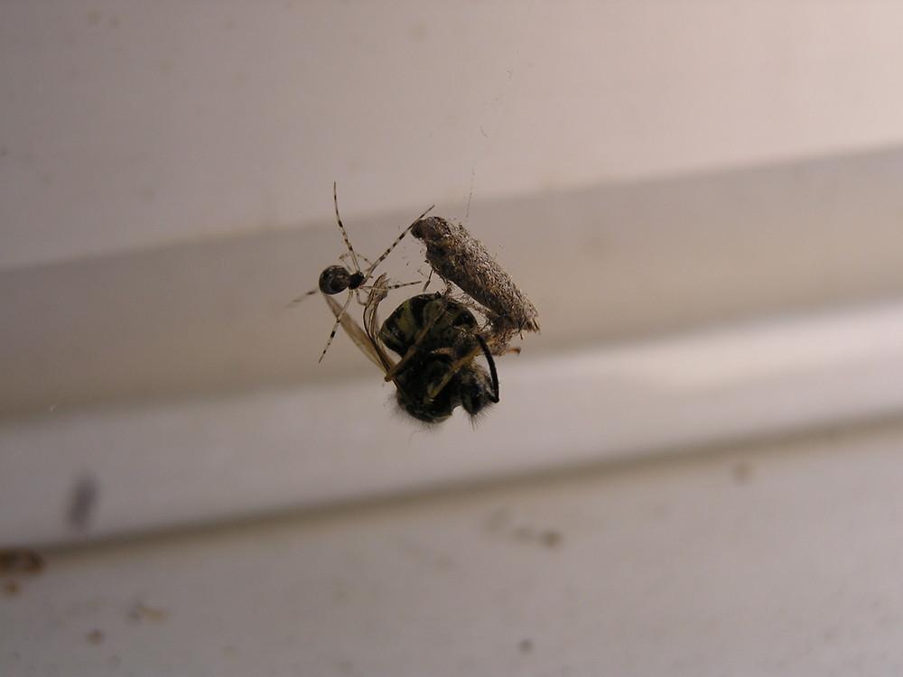 Wespe im Netz der Spinne