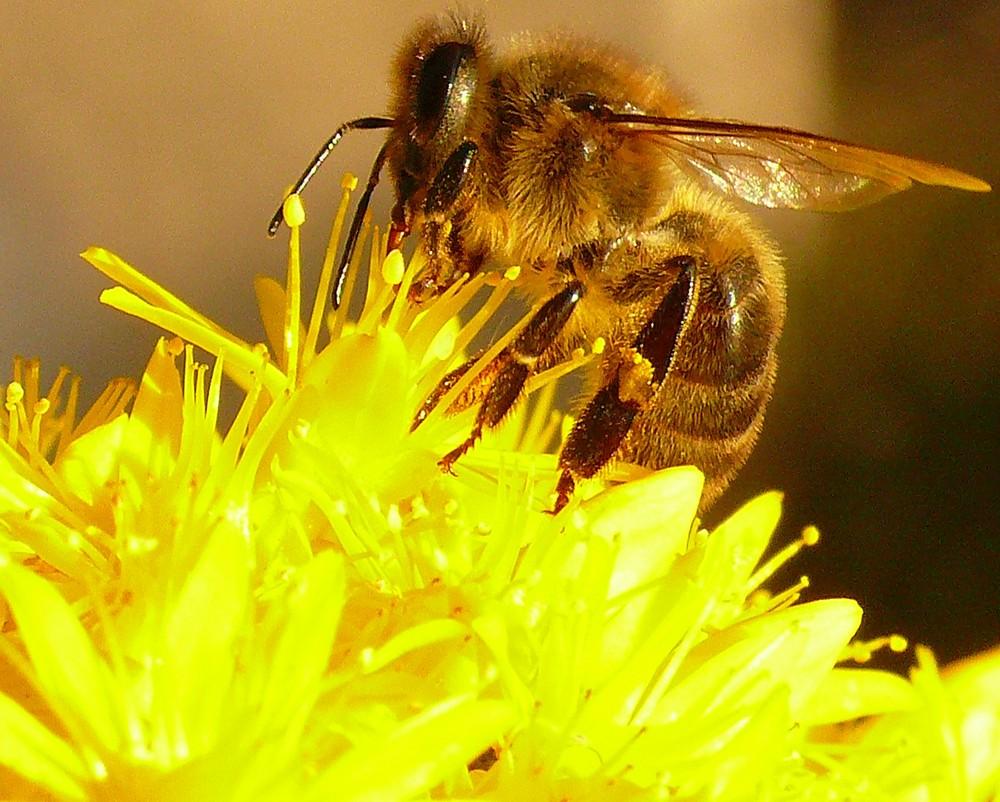 Wespe im Pollenrausch