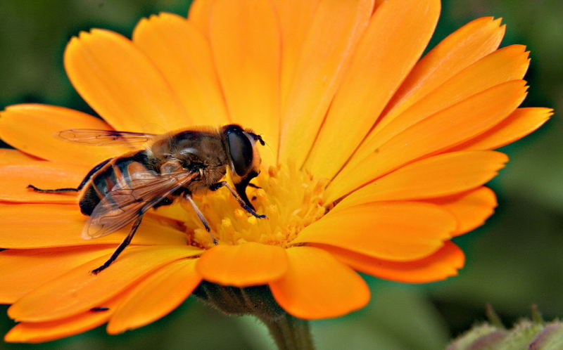 Wespe in Blume