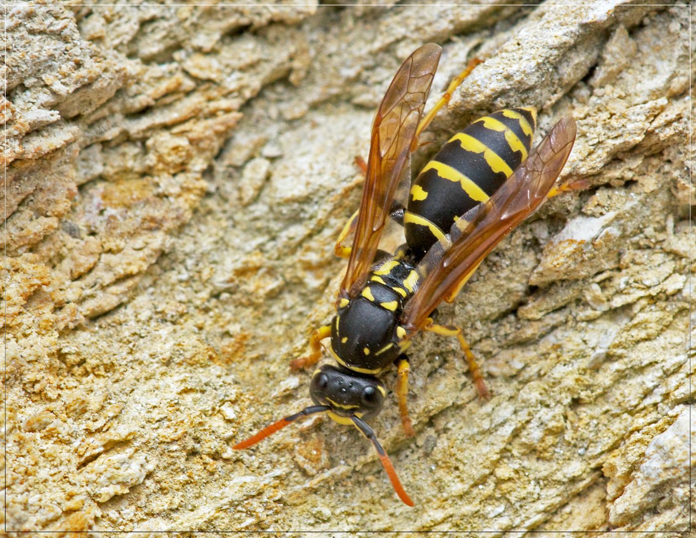 Wespe inspiziert eine alte Trockenmauer