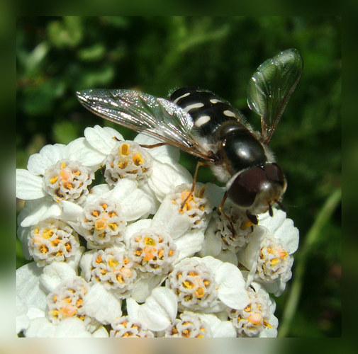Wespe oder Biene?