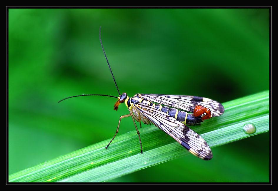 Wespe oder Käfer?