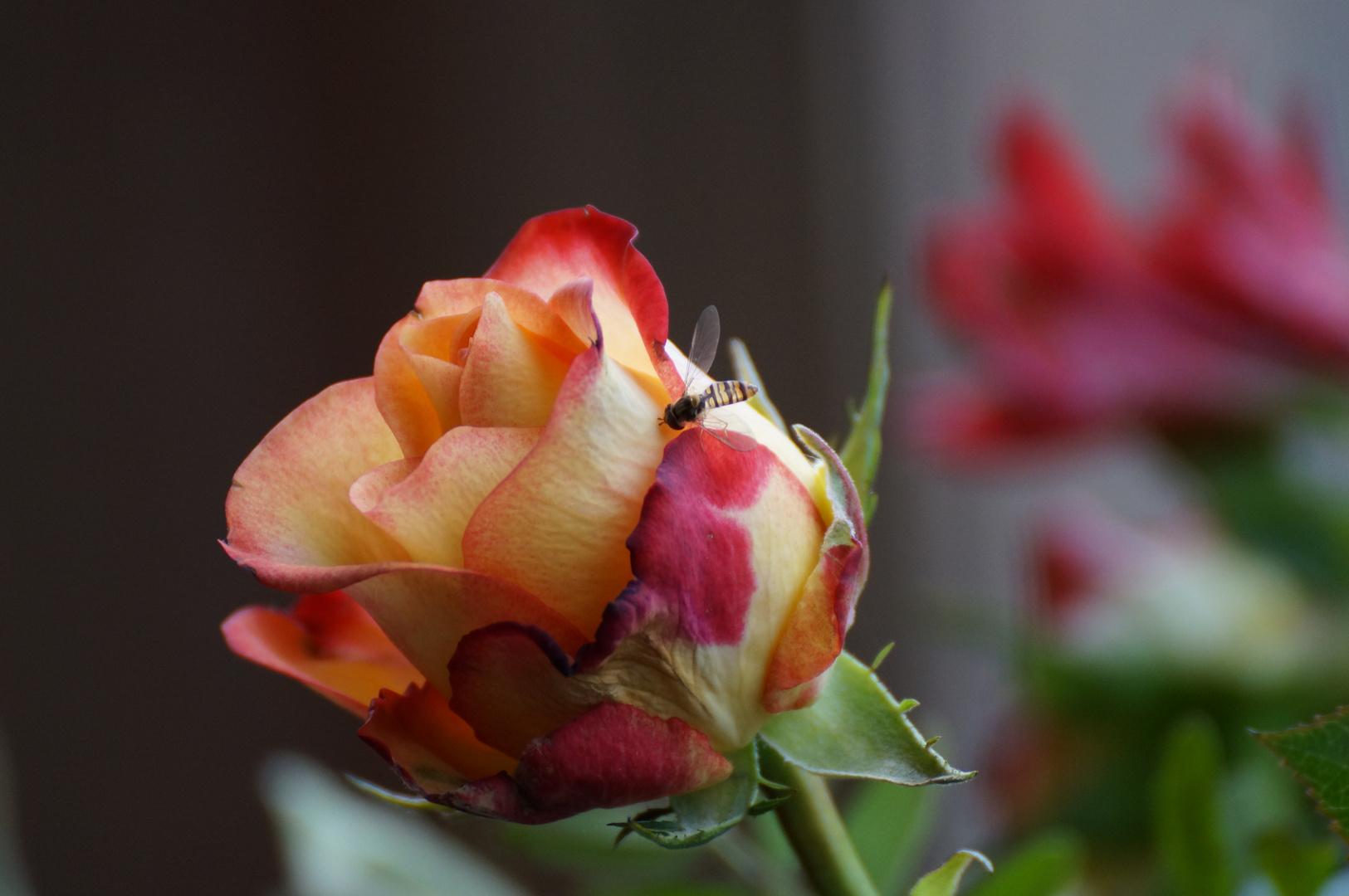 Wespe und Rose