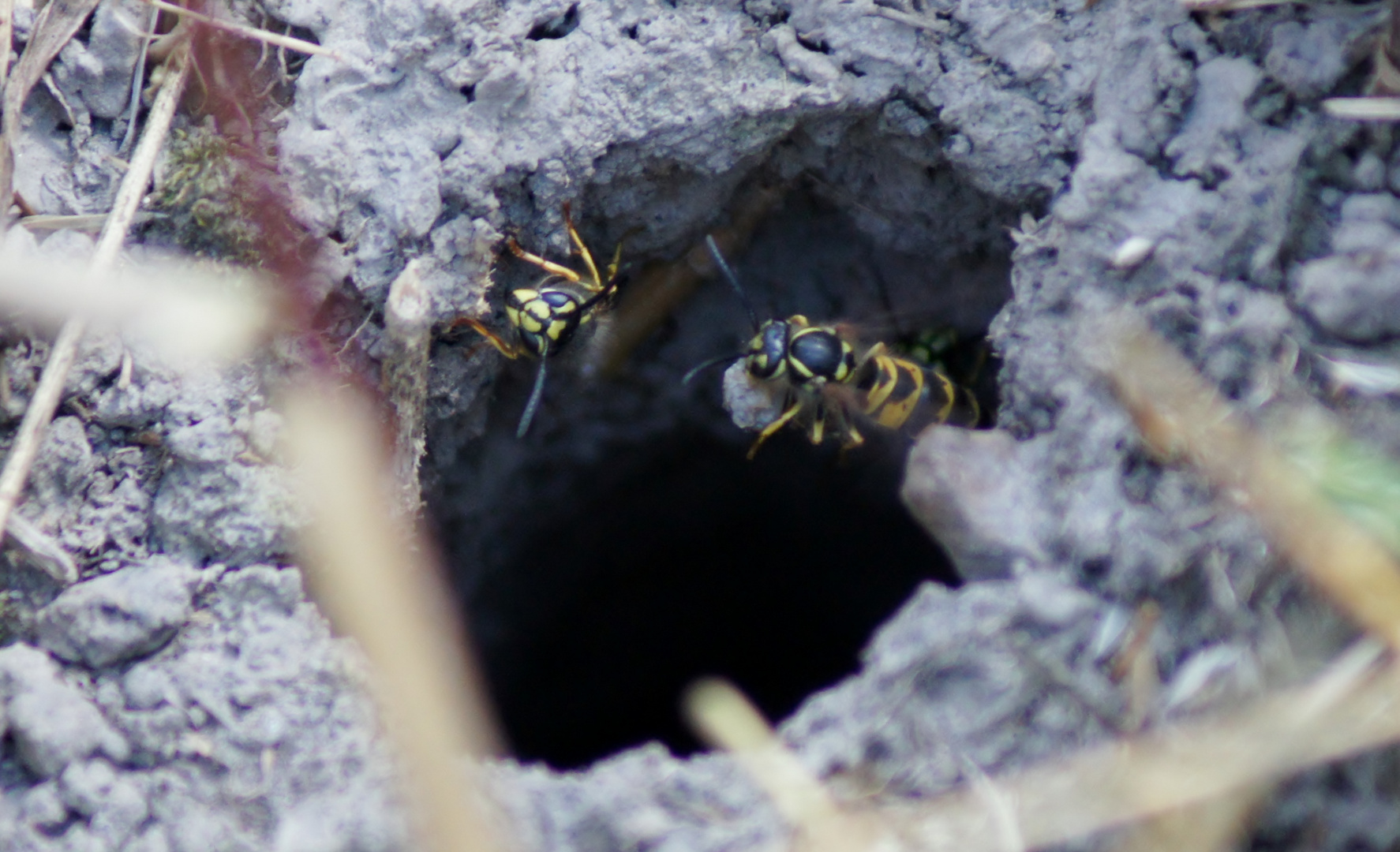 Wespen beim Häusel bauen