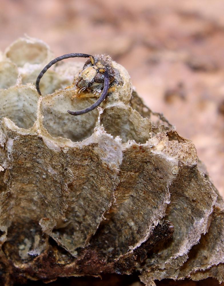 Wespen beim Schlupf