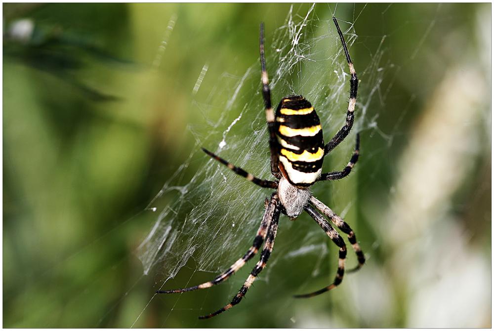 Wespen - oder Zebraspinne