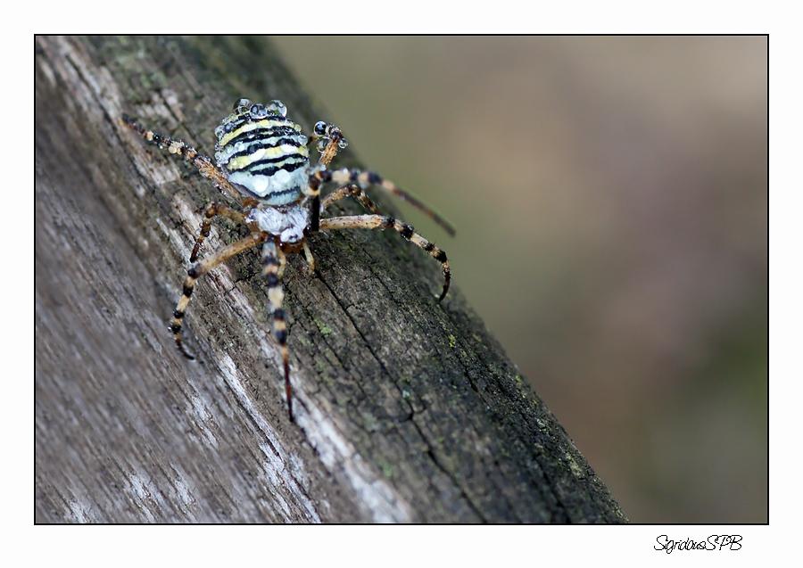 Wespen-Spinne
