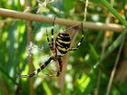 WESPEN-SPINNE (Argiope bruennichi)