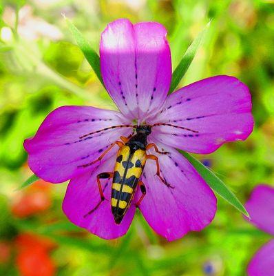Wespenähnlicher Käfer