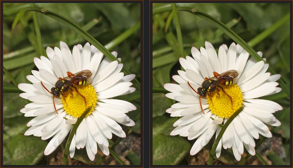 Wespenbiene [3D]
