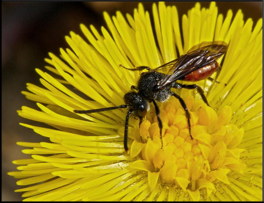 Wespenbiene auf Huflattich.