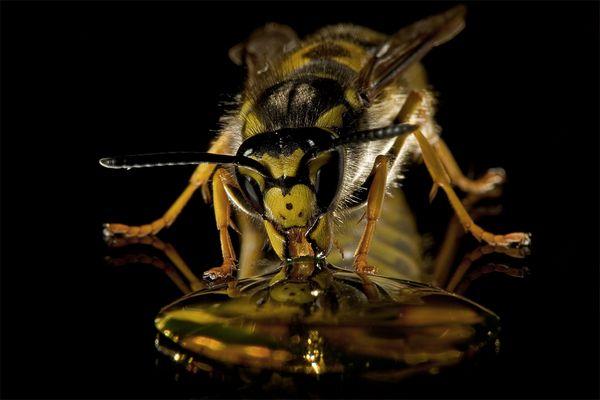 Wespenfütterung
