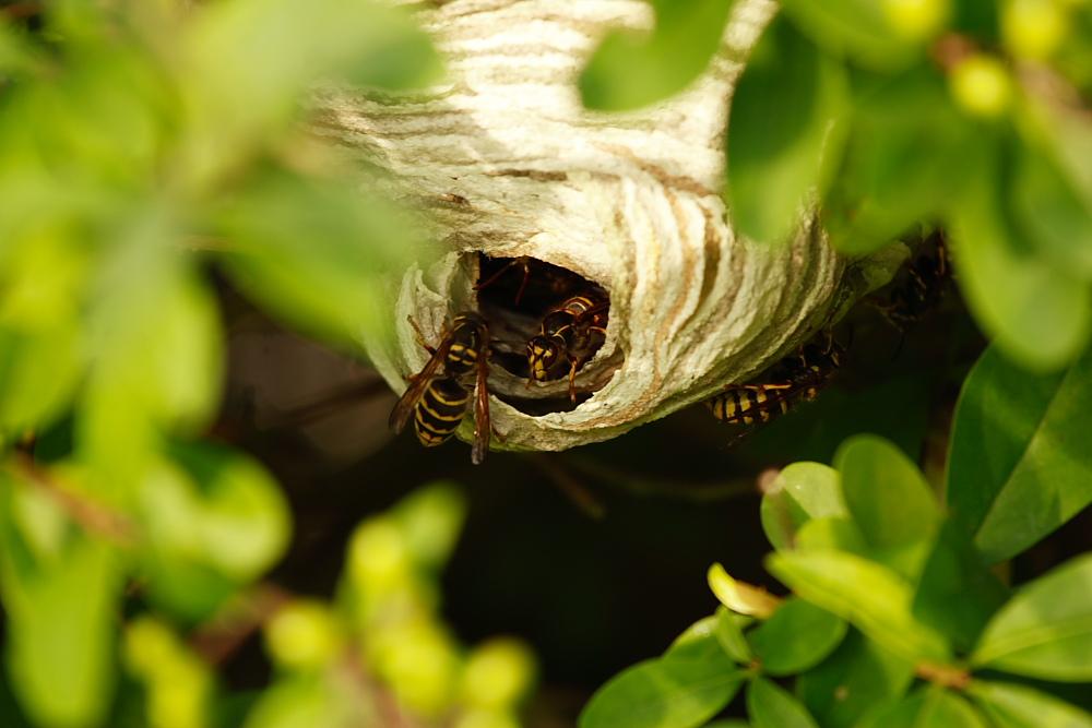Wespennest im Unterholz