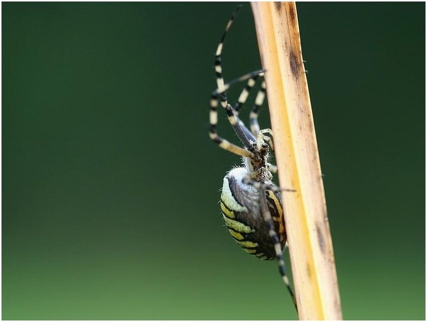 Wespenspinne an einem Schilfhalm