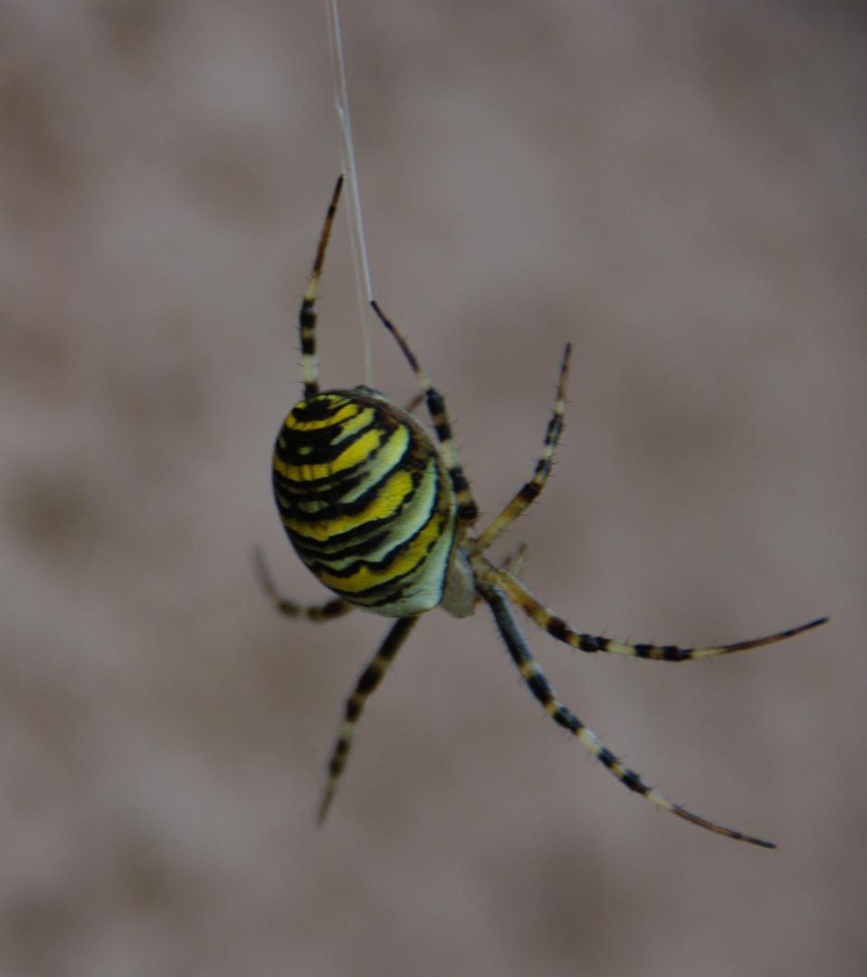 Wespenspinne an unserer Hauswand