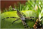 Wespenspinne (Argiope bruennichi) ~1~
