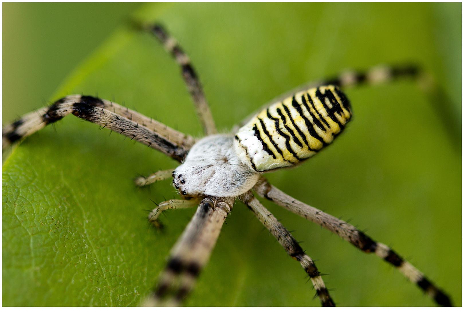Wespenspinne (Argiope bruennichi) ~2~